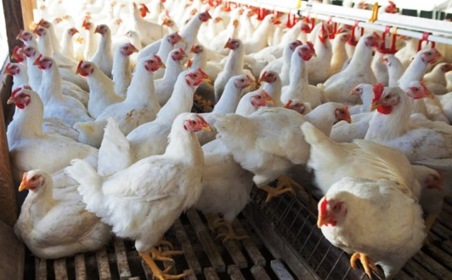 Poultry Farm in Nigeria
